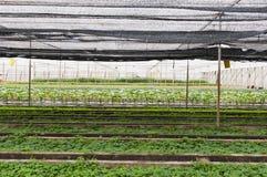 Green  vegetables  garden Stock Photography