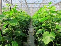 Green vegetables in greenhouses. Greenhouse vegetable growing in agricultural park Stock Image