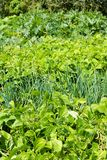 Green vegetables growing in the garden Royalty Free Stock Photo