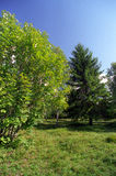 Green vegetation. Birchtrees, spruce and blueberry vegetation Royalty Free Stock Images