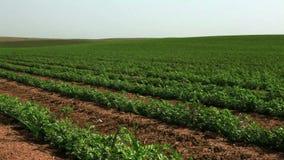 Green vegetation in desert field. Video of green vegetation in desert field stock video