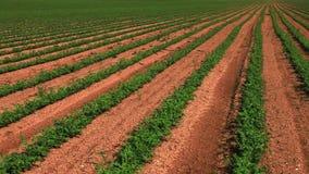 Green vegetation in desert field stock video