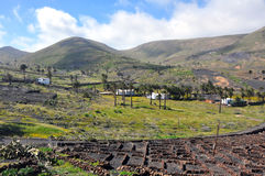 Green vegetation on fertile soil of spanish volcanic island lanzarote Royalty Free Stock Photography