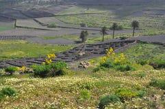 Green vegetation on fertile soil of spanish volcanic island lanzarote Royalty Free Stock Photo