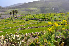 Green vegetation on fertile soil of spanish volcanic island lanzarote Royalty Free Stock Images