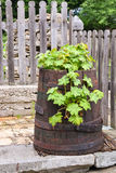Green vegetation in an old barrel in the backyard Royalty Free Stock Image