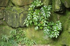 Green vegetation on wall with moss. In the garden Stock Photos
