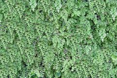 Green vegetative background. Royalty Free Stock Image