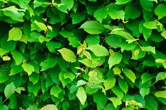 Green vegetative fence Royalty Free Stock Photography