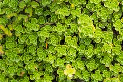Green vegetative texture of leaves Royalty Free Stock Photo