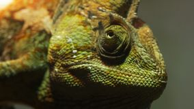 Green veiled chameleon close up stock video footage