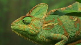 Green veiled chameleon