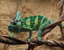 Green veilied chameleon. Green veiled chameleon on branch Stock Photos