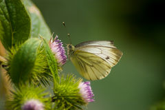 Green-veined White. Butterfly (Pieris napi) on the flower Stock Photography