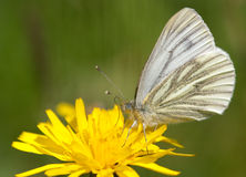 Green-veined white Royalty Free Stock Photography