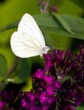 Green-veined White. (Pieris napi) on a purple flower Royalty Free Stock Photo