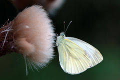green veined white Royaltyfria Foton