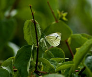 Green-veined White butterfly Royalty Free Stock Image