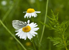 Green-veined White butterfly Stock Photography