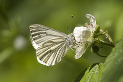 Green veined white butterfly Stock Photography