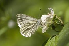 Green veined white butterfly. Pieris napi, feeding on bramble flower Stock Photography