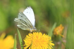 Green-veined white butterfly Stock Images
