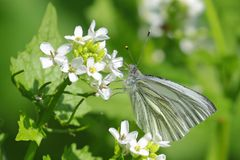 Green veined white butterfly pieris napi feeding on a wild flower Stock Photo