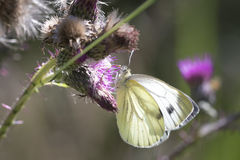 Green-veined white butterfly Stock Photo