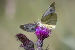 Green-veined white butterfly Royalty Free Stock Photo