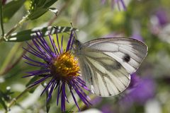 Green-veined White butterfly (Pieris napi) Royalty Free Stock Photos