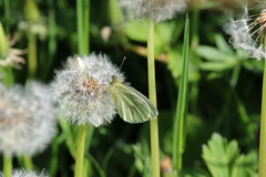 Green Veined White Butterfly (Pieris napi). On seeding head of dandelion (dandelion clock). Other dandelions and other green plants are visible in the Stock Photos