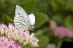 Green veined white butterfly Stock Image