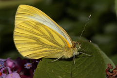 Green veined white butterfly. Stock Photos