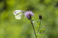 Green-veined white butterfly Royalty Free Stock Photos