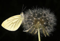 Green-veined White on Dandilion clock Royalty Free Stock Photos