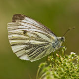 Green-veined White (Pieridae) Royalty Free Stock Images