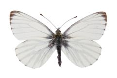 Green-veined White (Pieris napi) Stock Photo