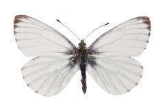 Free Green-veined White (Pieris Napi) Stock Photo - 12189500