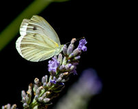 Green-veined white. Pieris napi Royalty Free Stock Photo