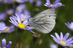 Green-veined White (Pieris napi) butterfly Royalty Free Stock Photo