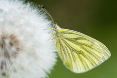 Green-veined white (Pieris napi) on dandelion seedhead Stock Photo