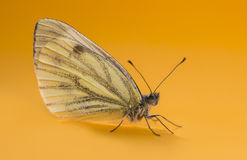 Green-veined white, Pieris napi Stock Photography