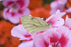 Green-veined White Pieris-napi on Geranium Royalty Free Stock Images