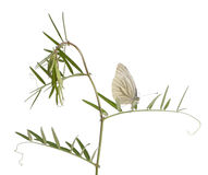 Green-veined White, Pieris napi, on plant Stock Image