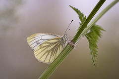 Green-veined white Stock Photography