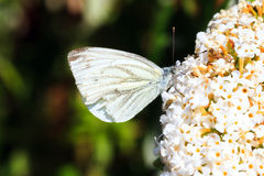 The Green-veined White Royalty Free Stock Photography