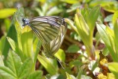 Green-veined whites Stock Photo