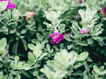 Green velvet bush with small purple flowers. Close up of  green velvet bush with small purple flowers Royalty Free Stock Photography
