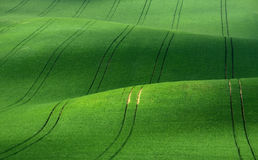 Green velvet. Green rolling hills of wheat that resemble corduroy with lines stretching into the distance. Moravian green rolling hills of wheat that resemble Royalty Free Stock Photo
