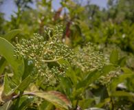 The green version of the fruits of the glossy privet plant.Bu. The green version of the fruits of the glossy privet plant. Close up ligustrum tree lucidum stock photography